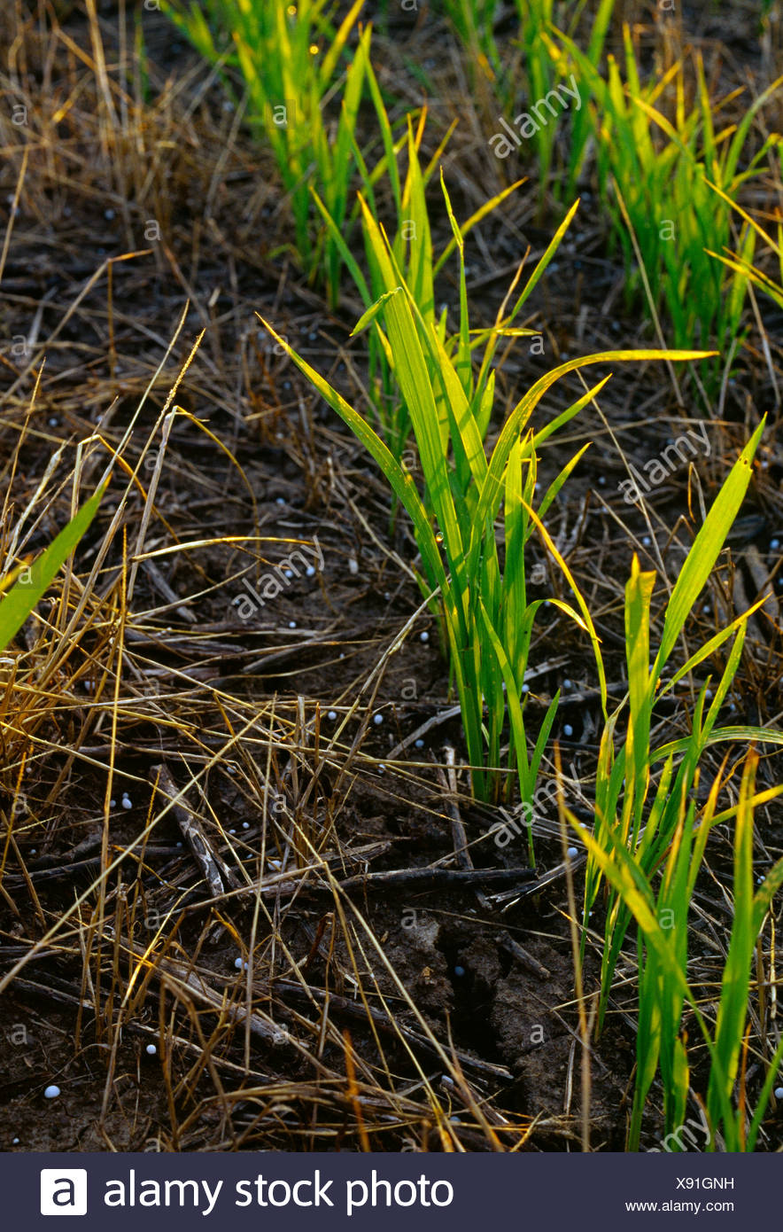 Agriculture - Closeup of early growth no till rice plants growing in soybean & weed stubble at the pre flood stage / AR, USA. Stock Photo