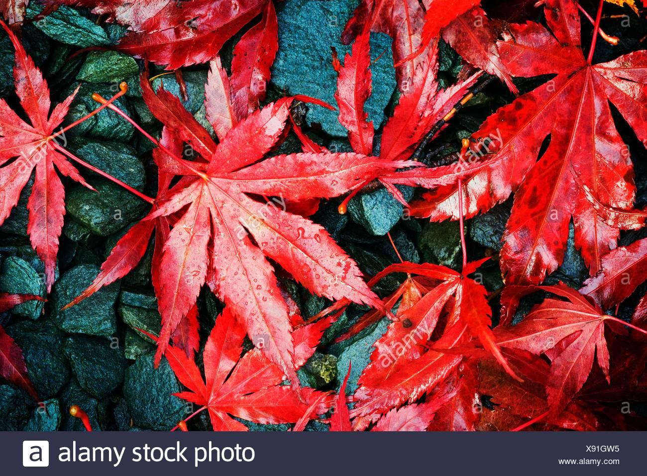 Autumn Fall colour Acer palmatum variety Bloodgood Stock Photo