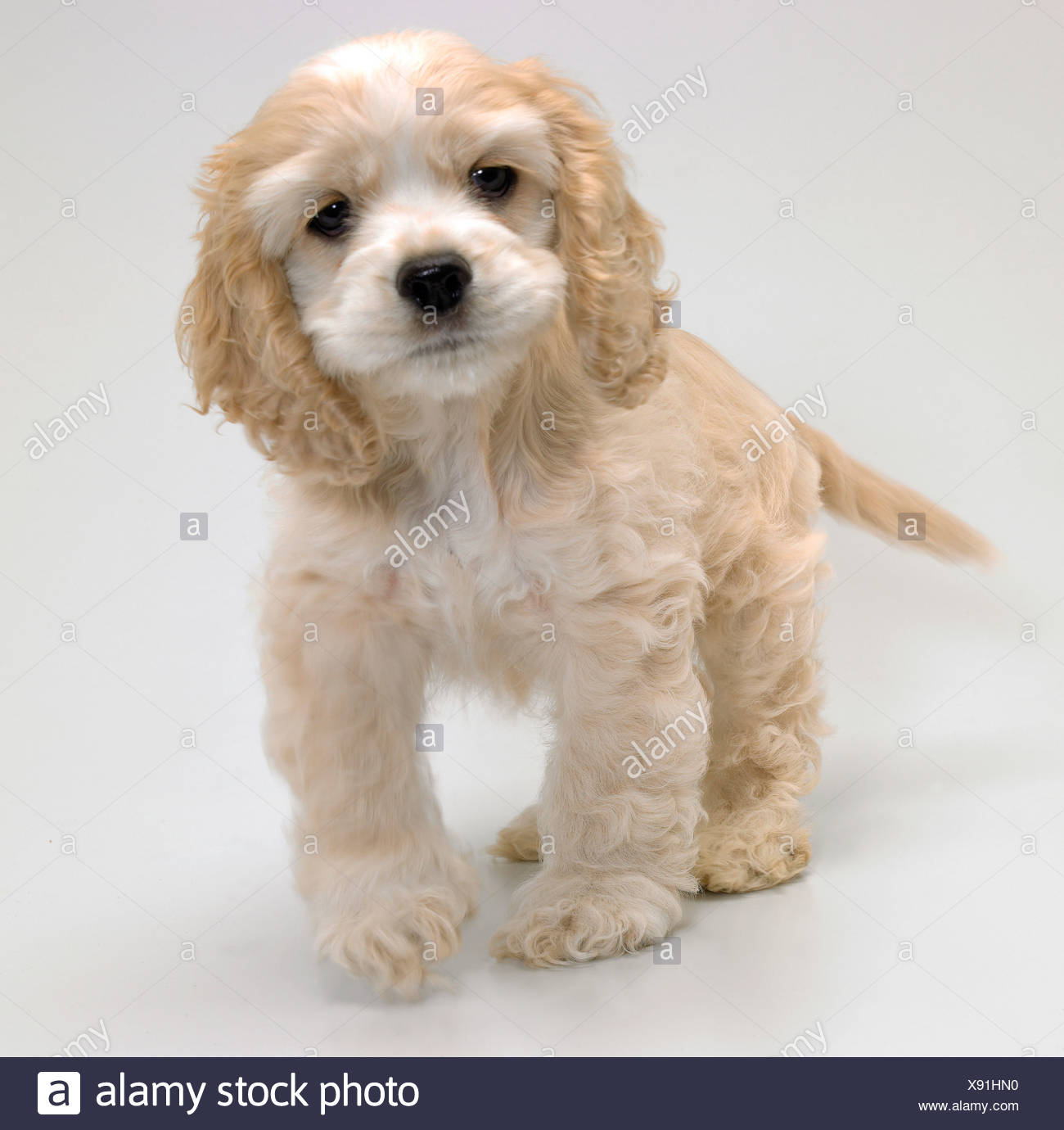 An American Cocker Spaniel puppy standing - Stock Image
