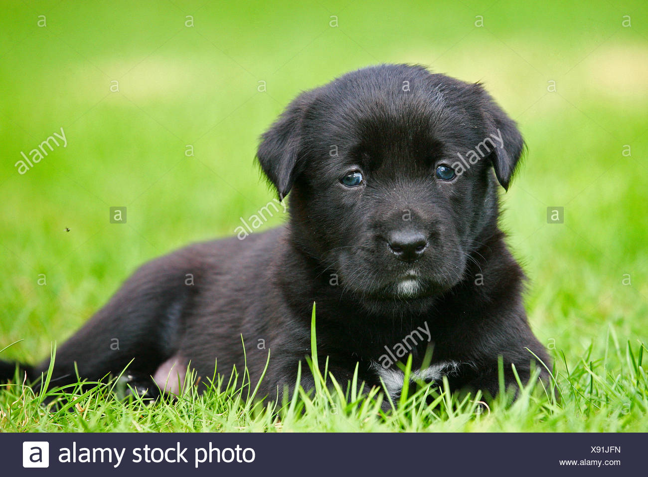 Labrador Retriever (Canis lupus f. familiaris), Labrador-puppy lying in a meadow, Germany - Stock Image