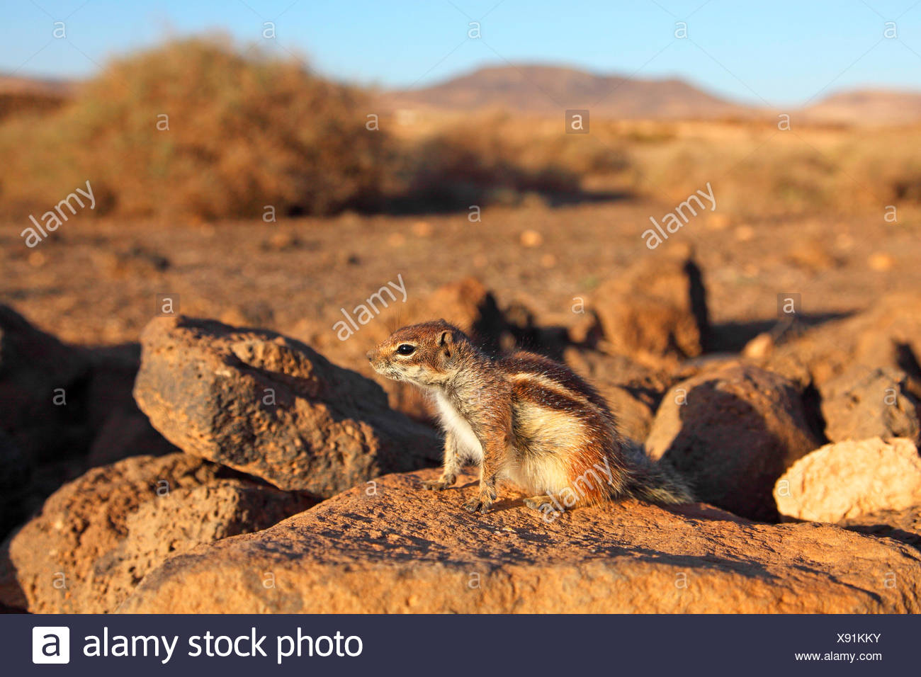 barbary ground squirrel, North African ground squirrel (Atlantoxerus getulus), sits on a stonewall in semi-desert, Canary Islands, Fuerteventura - Stock Image