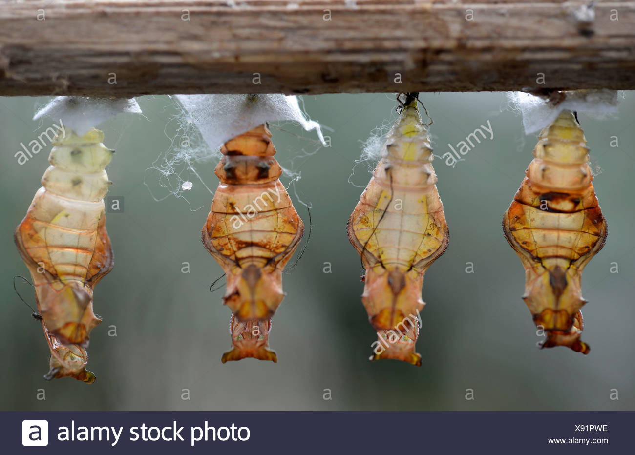 Paper Kite, Rice Paper or Large Tree Nymph Butterfly (Idea leuconoe), abandoned cocoons hanging on a branch, Stuttgart - Stock Image