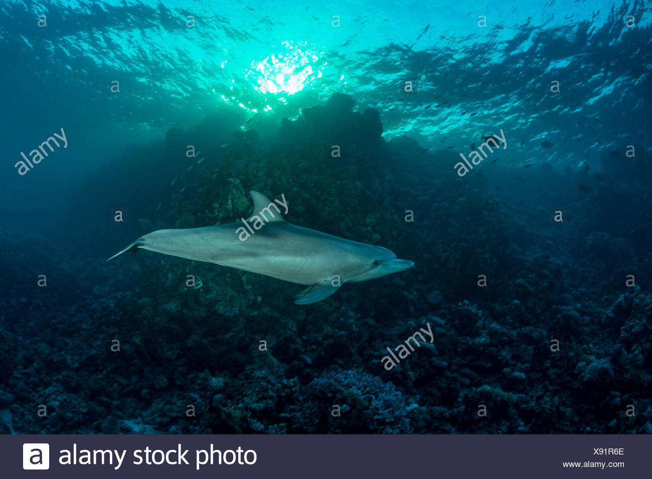 Indian Ocean Bottlenose Dolphin , Tursiops aduncus, Marsa Alam, Red Sea, Egypt - Stock Image