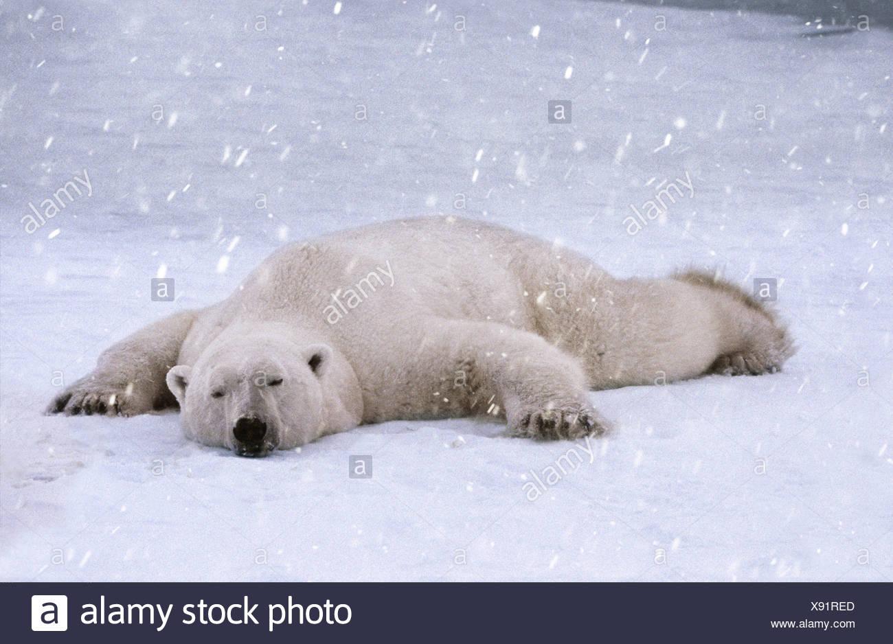 Polar bear sleeping in the snow Cape Churchill Manitoba Canada - Stock Image