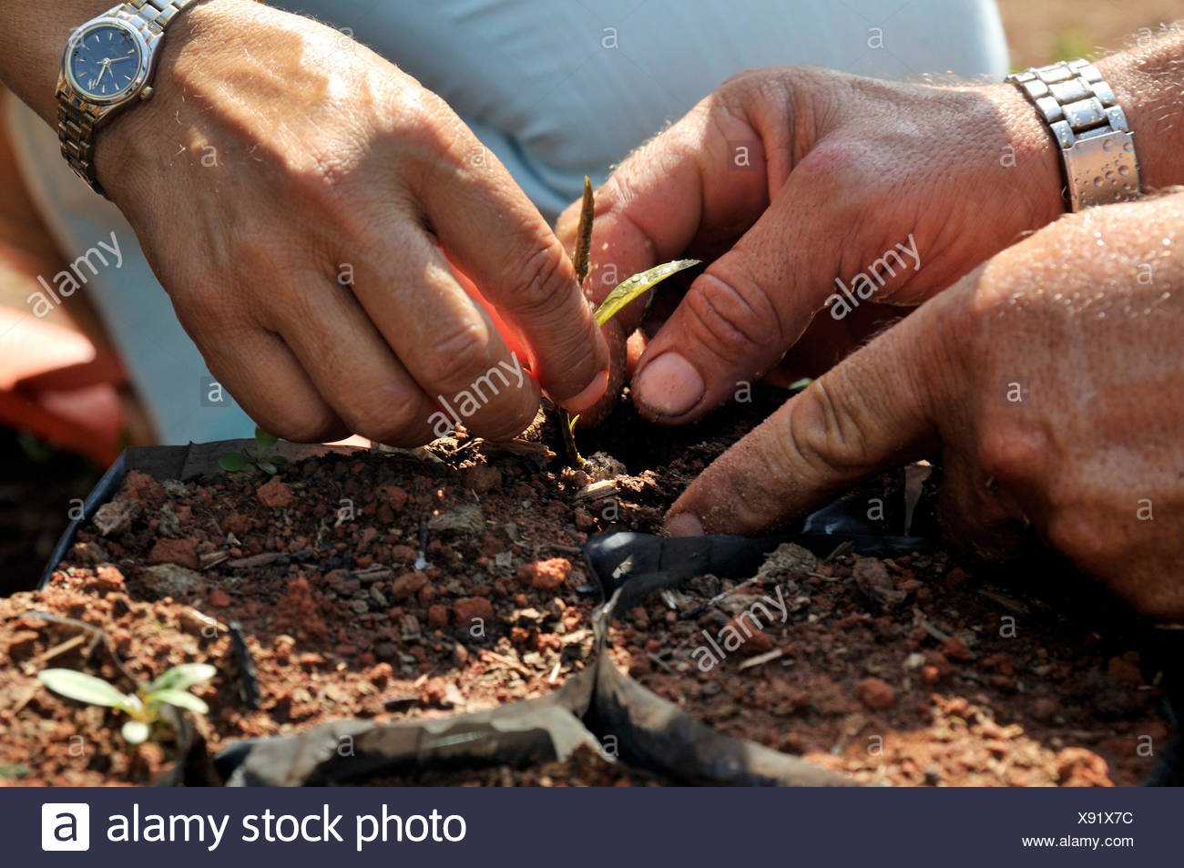 Rearing of seedlings for reforestation of previously cleared land in the Amazon rain forest, tree nursery co-operative of small - Stock Image
