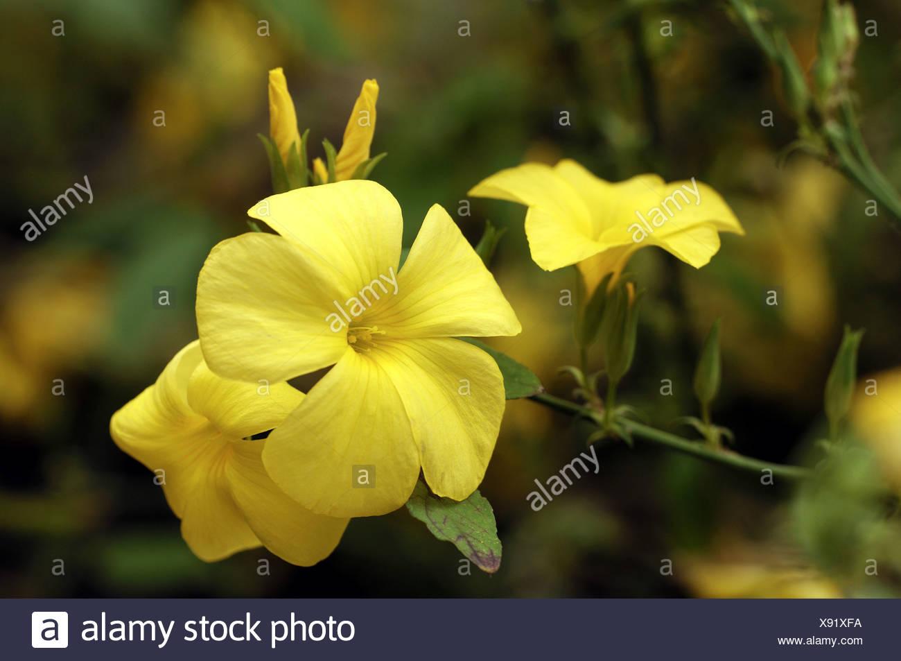 Yellow flax reinwardtia indica flowers stock photo 280940558 alamy yellow flax reinwardtia indica flowers mightylinksfo