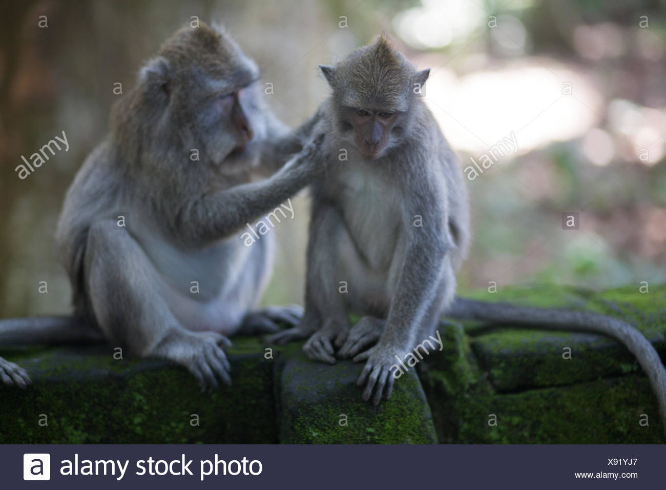 Monkey Getting Loused By Another - Stock Image