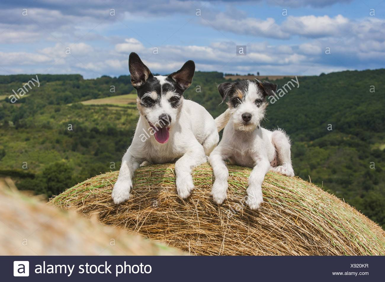 2 Parson Russell Terriers - Stock Image