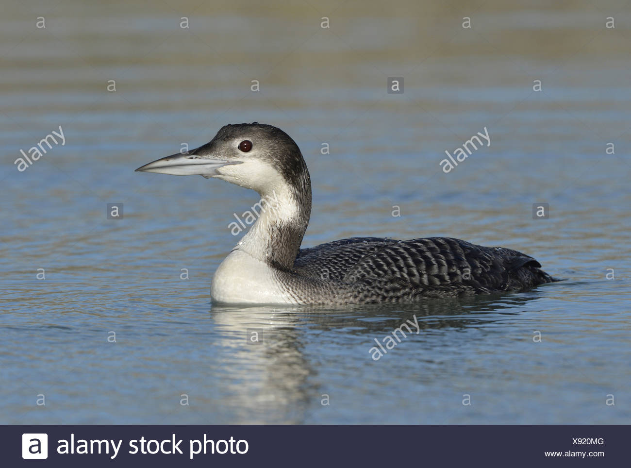 Great Northern Diver Gavia immer - Stock Image