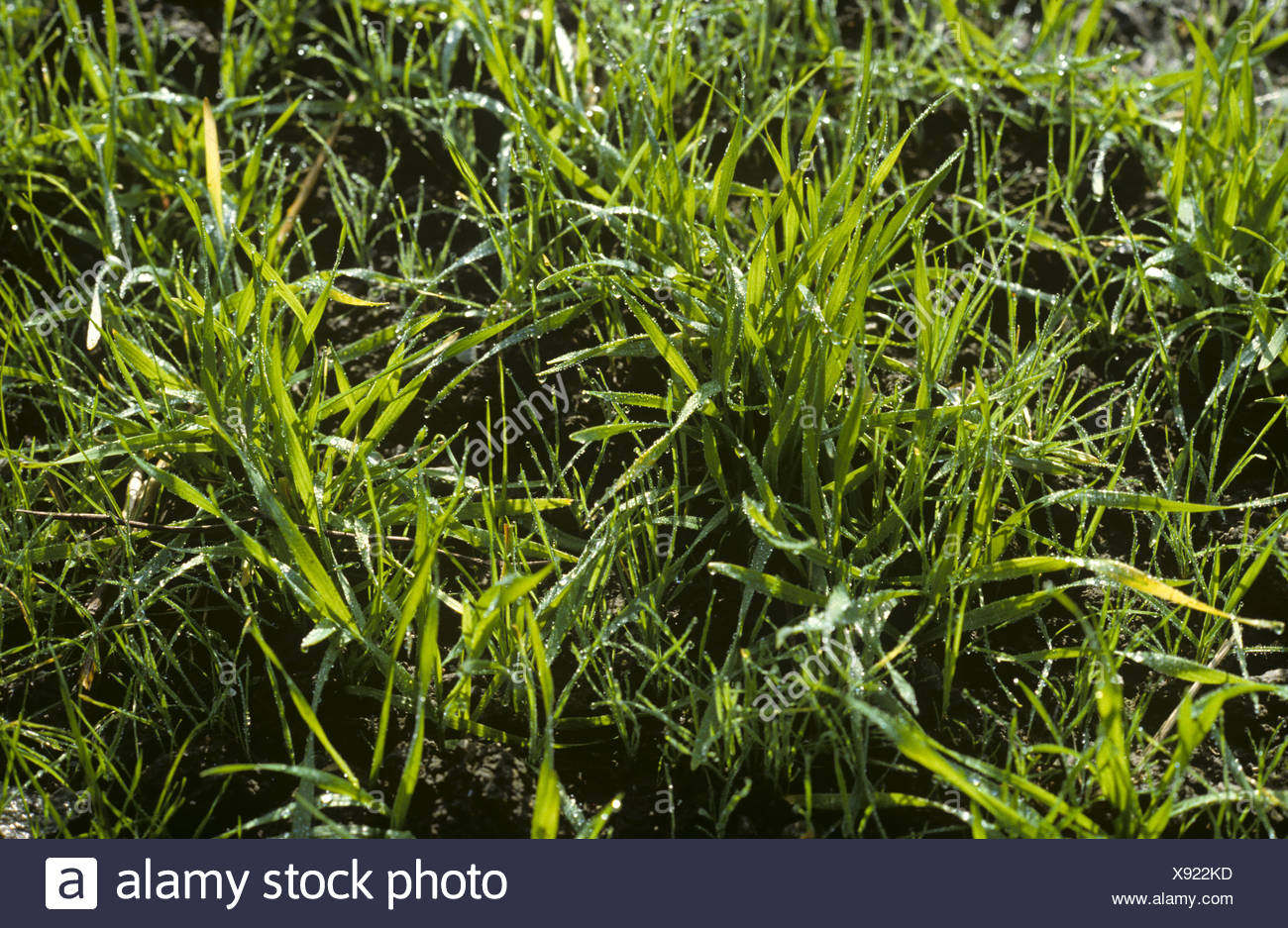Seedling blackgrass Alopecurus myosuroides flush of annual arable grass weeds in young barley - Stock Image
