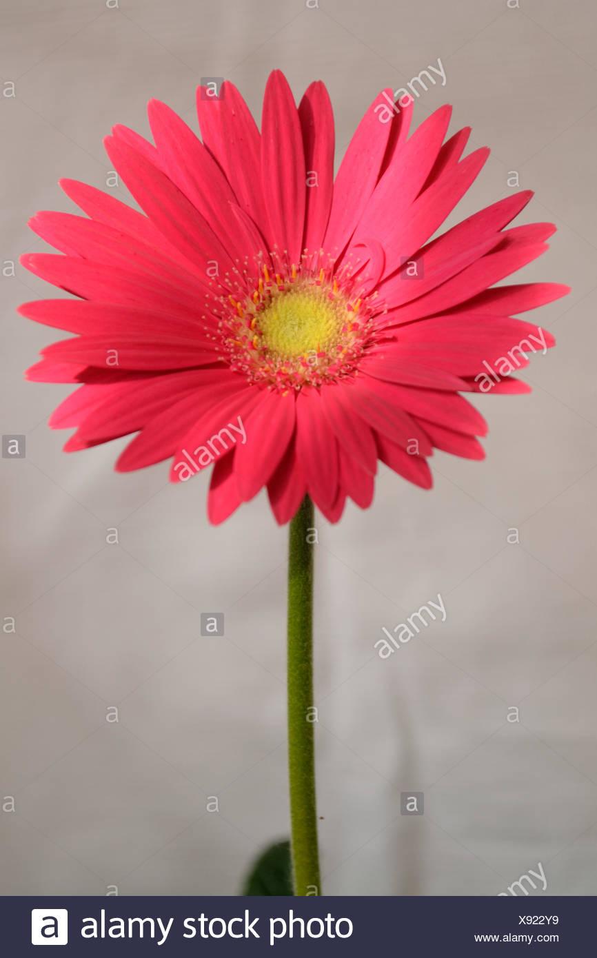 pink Gerbera - optional - Stock Image