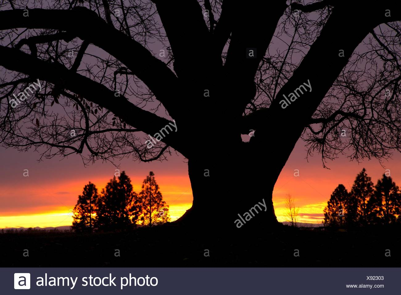 Oregon oak (Quercus garryana) sunrise, Willamette Mission State Park, Marion County, Oregon. - Stock Image