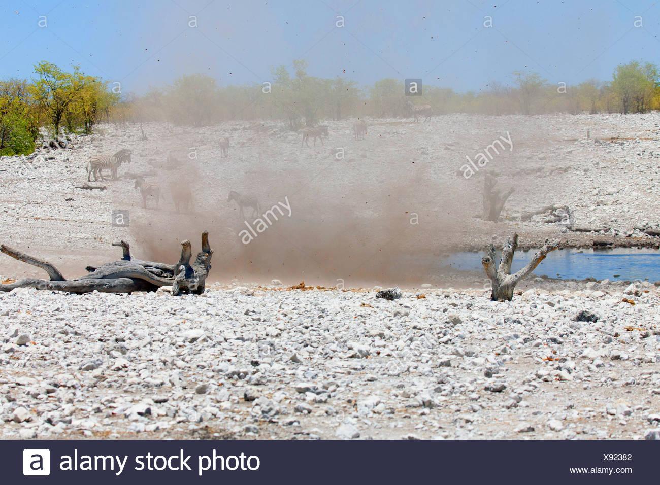dust devil whirling up sand and stones near a waterhole with zebras, Namibia, Etosha National Park, Naumutoni - Stock Image