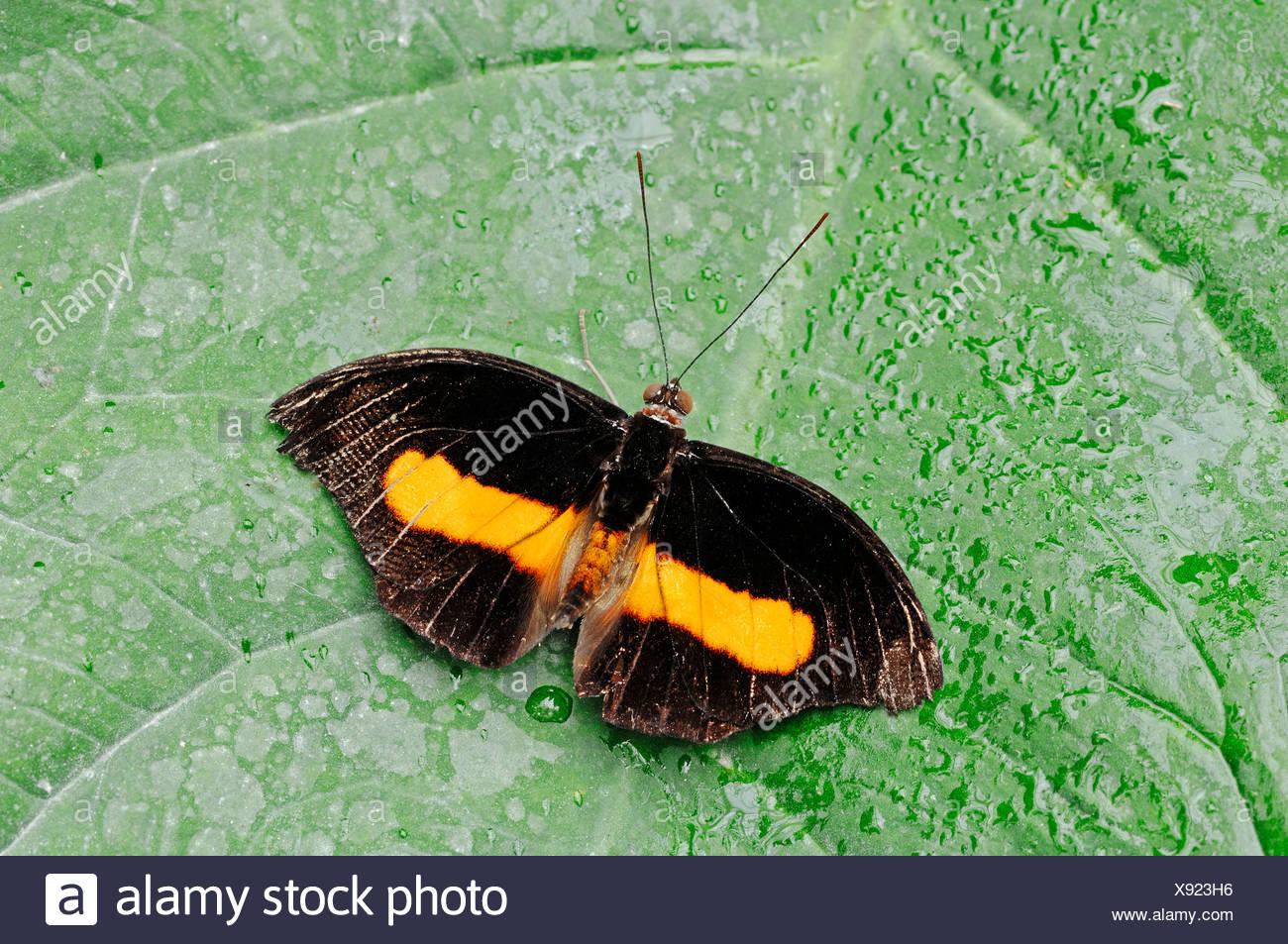 Orange-banded Shoemaker Butterfly (Catonephele orites), male, native to South America, in captivity - Stock Image