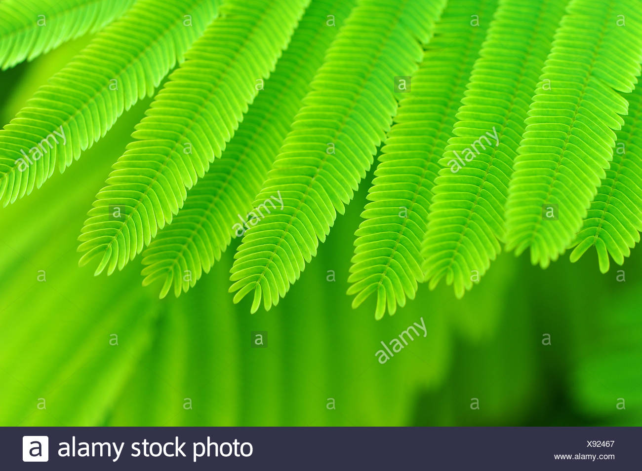 Acacia Leaves Stock Photos Acacia Leaves Stock Images Alamy