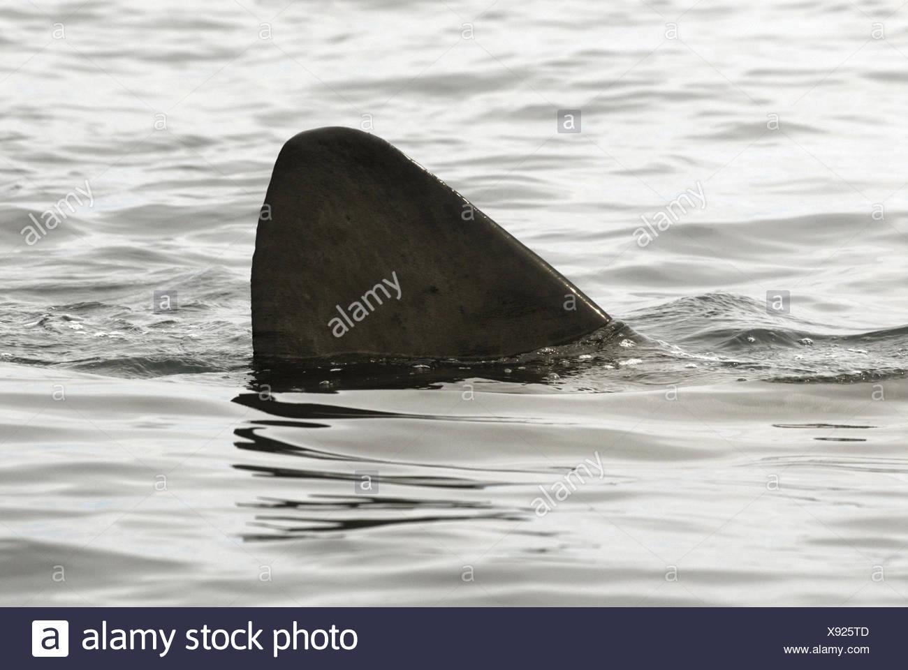 Basking Shark - Cetorhinus maximus - Stock Image