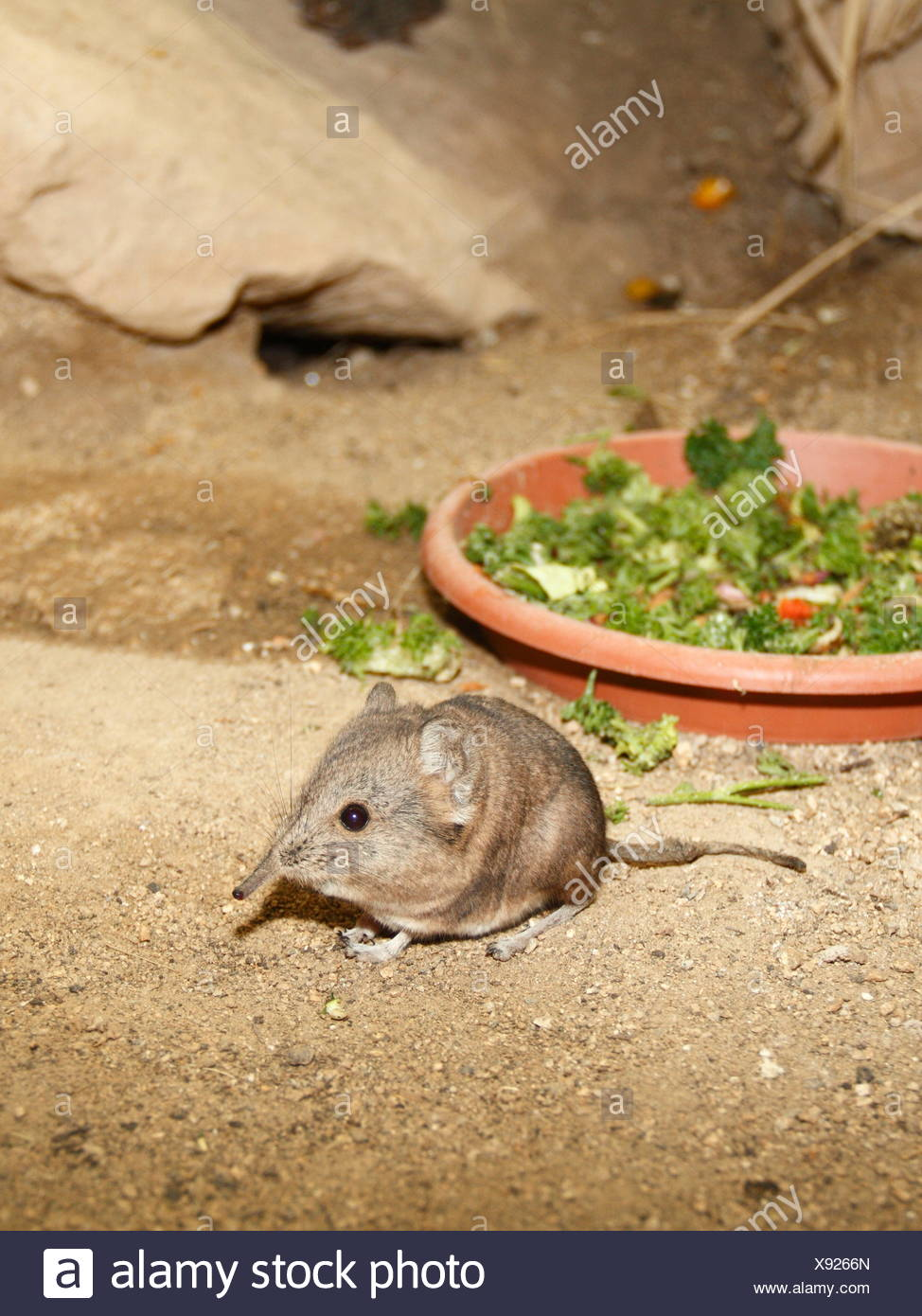 elephant shrews - Stock Image