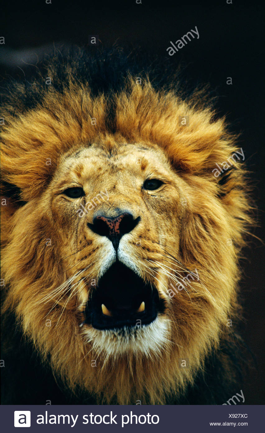 Close-up of a lion (Panthera leo) snarling - Stock Image