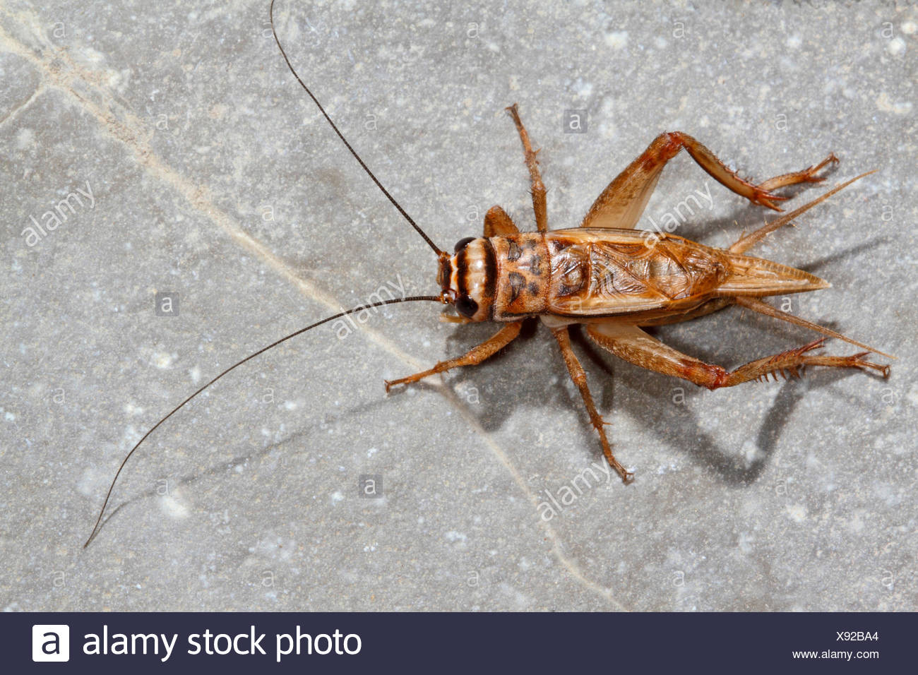 House cricket, Domestic cricket, Domestic gray cricket (Acheta domesticus, Acheta domestica, Gryllulus domesticus), sitting on the ground, Germany - Stock Image