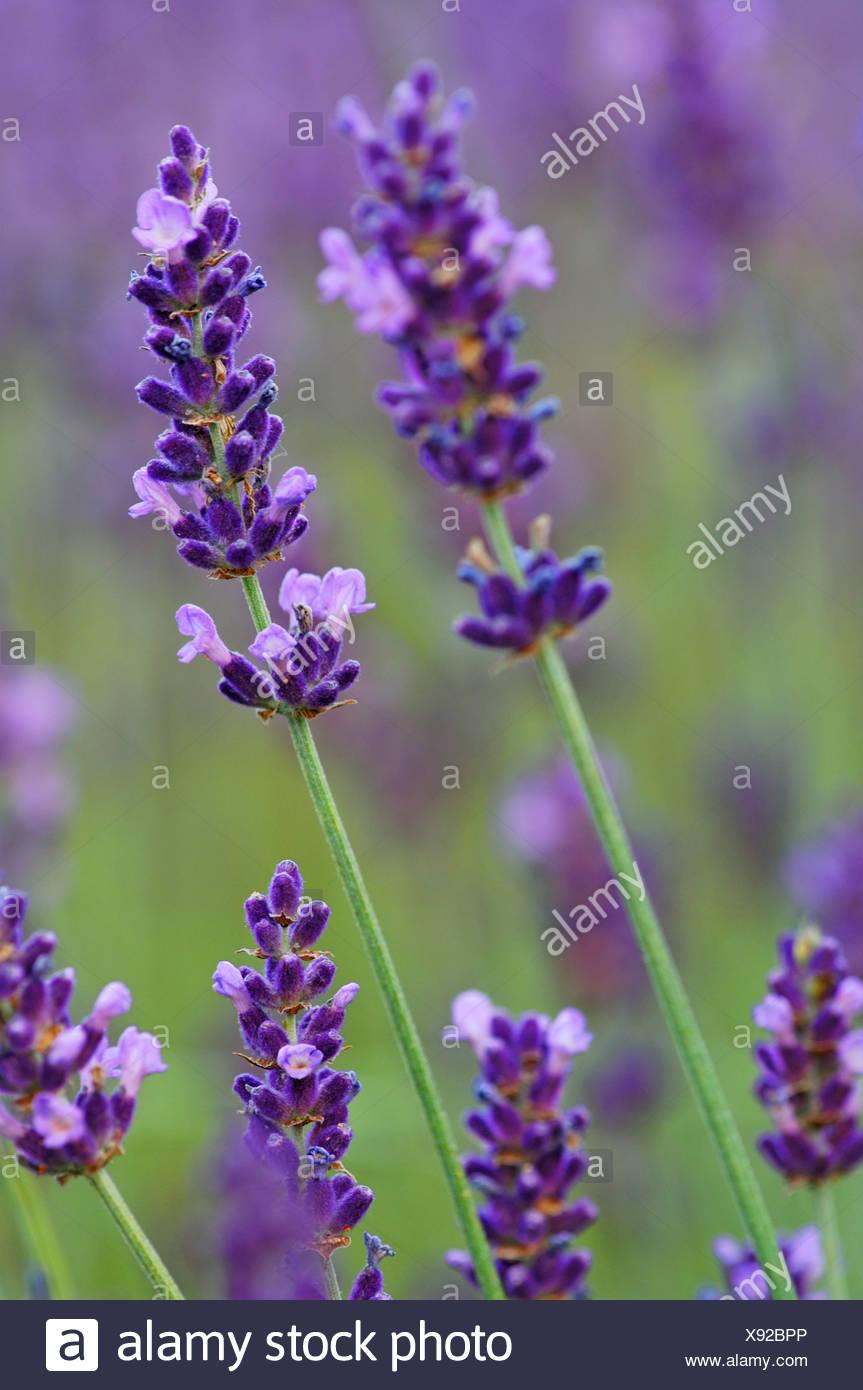 Lavender (Lavendula angustifolia) - Stock Image