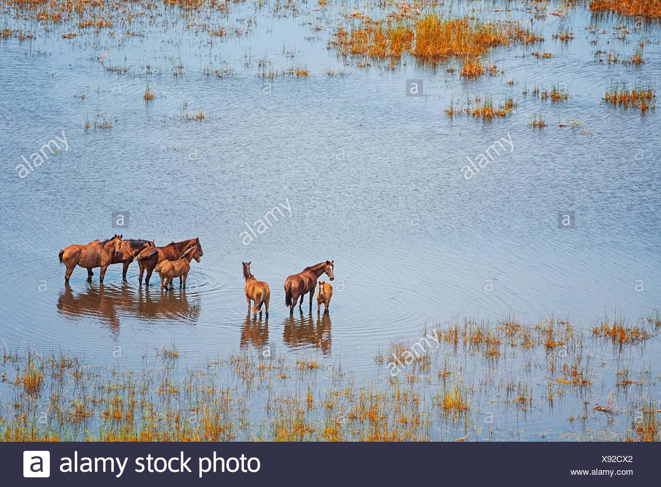 Wild horses in a wet field, Broome, Australia Stock Photo