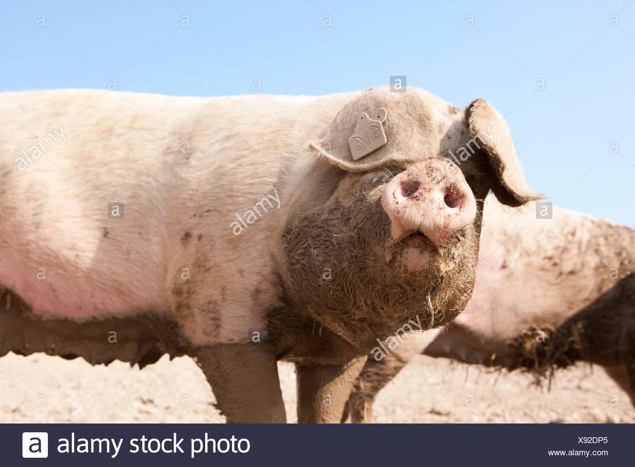 Muddy pig - Stock Image