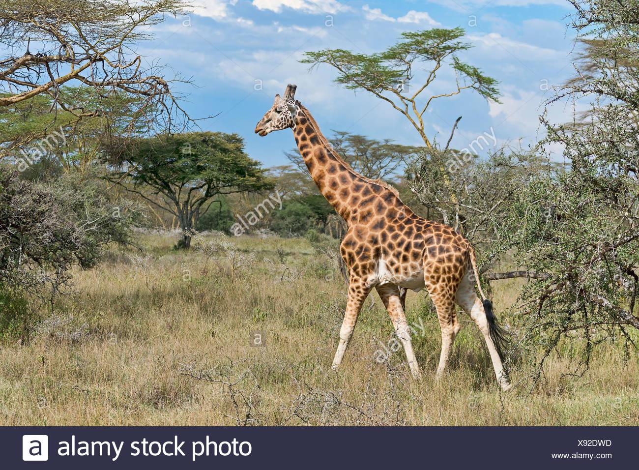 Rothschild's giraffe (Giraffa camelopardalis camelopardis) walking in bushland, Lake Nakuru National Park, Kenya - Stock Image