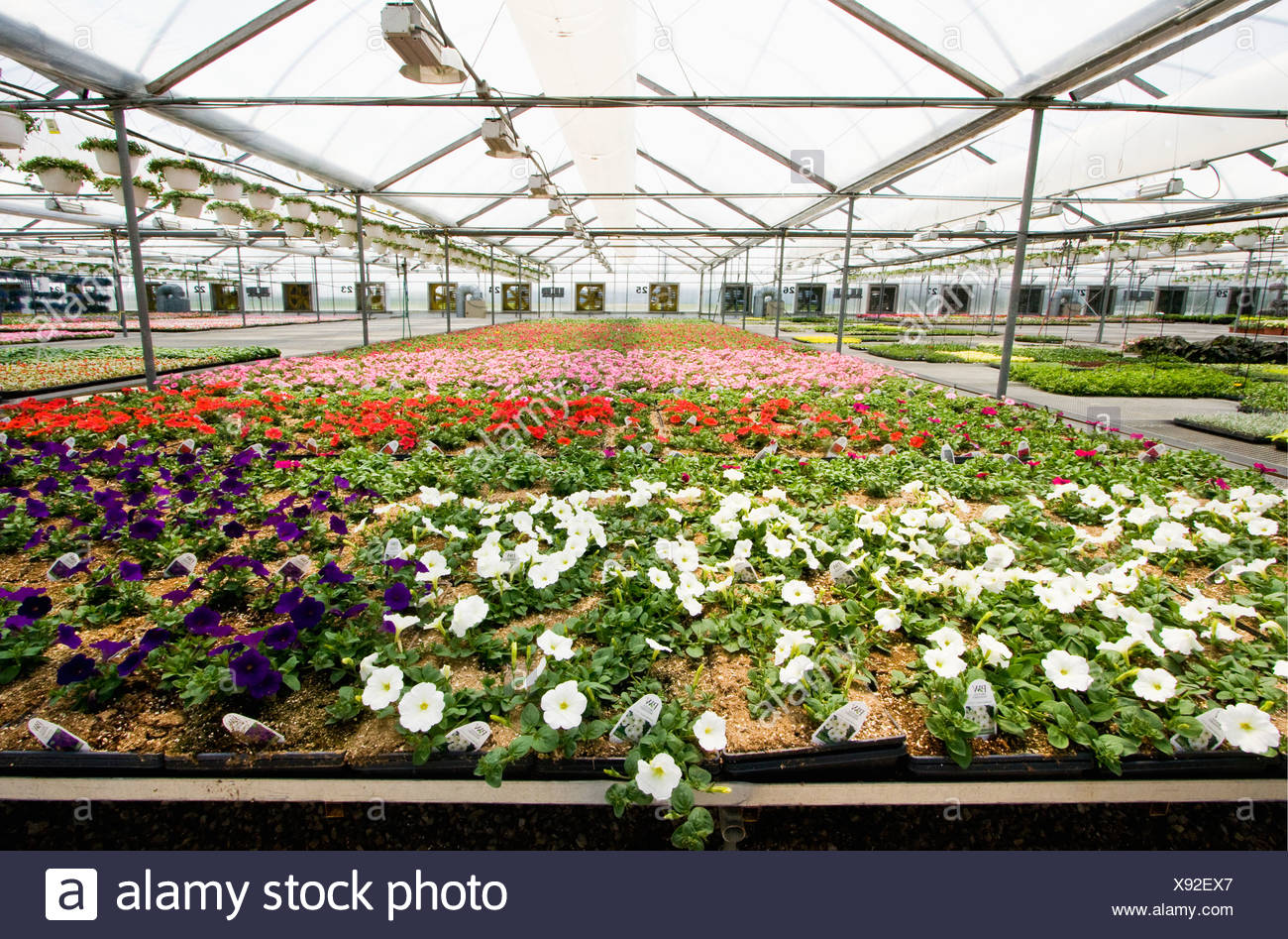 Incredible White Red And Pink Petunias In Flats On A Bench And Hanging Gmtry Best Dining Table And Chair Ideas Images Gmtryco