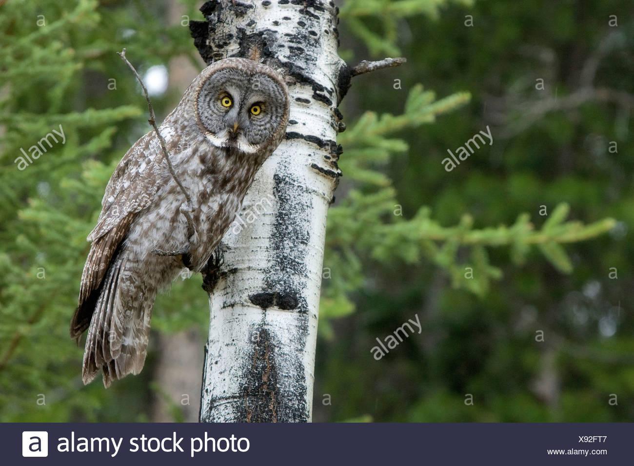 Great Grey Owl perched limb poplar tree Banff - Stock Image