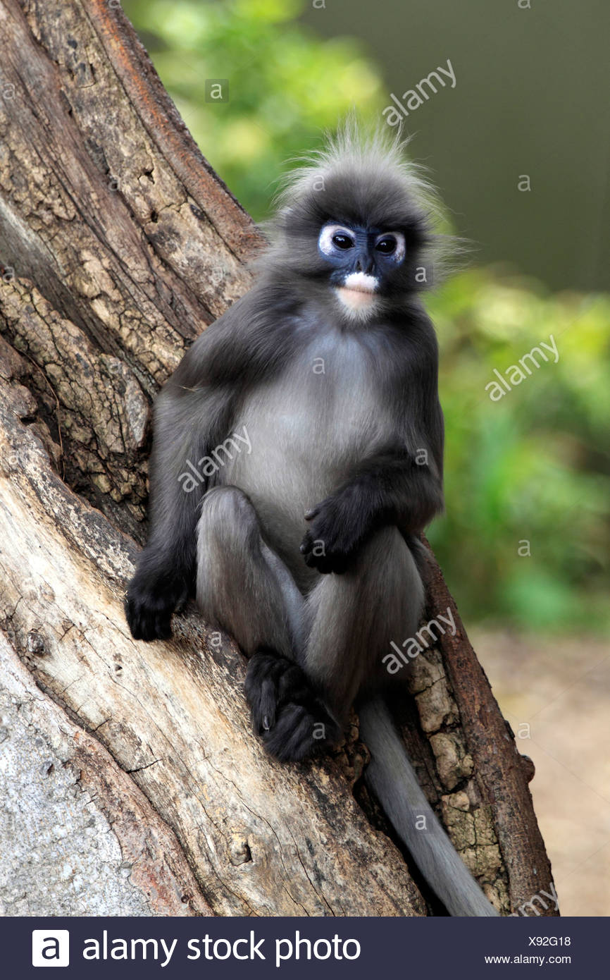 Dusky Leaf Monkey, Spectacled Langur, or Spectacled Leaf Monkey (Trachypithecus obscurus), male adult in tree, Asia - Stock Image