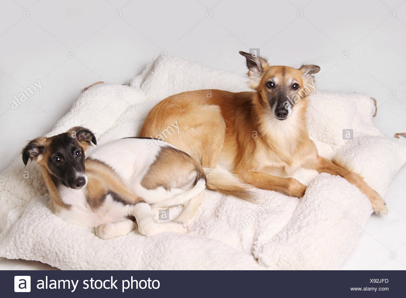 Two Silken Windsprite sighthounds lying in the dog basket Stock Photo
