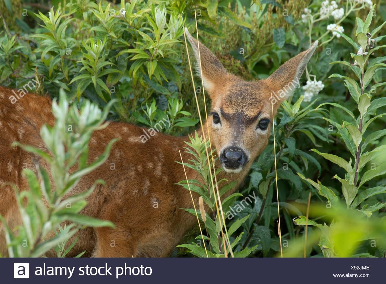 Blacktail deer, Fort Flagler State Park, Washington. - Stock Image