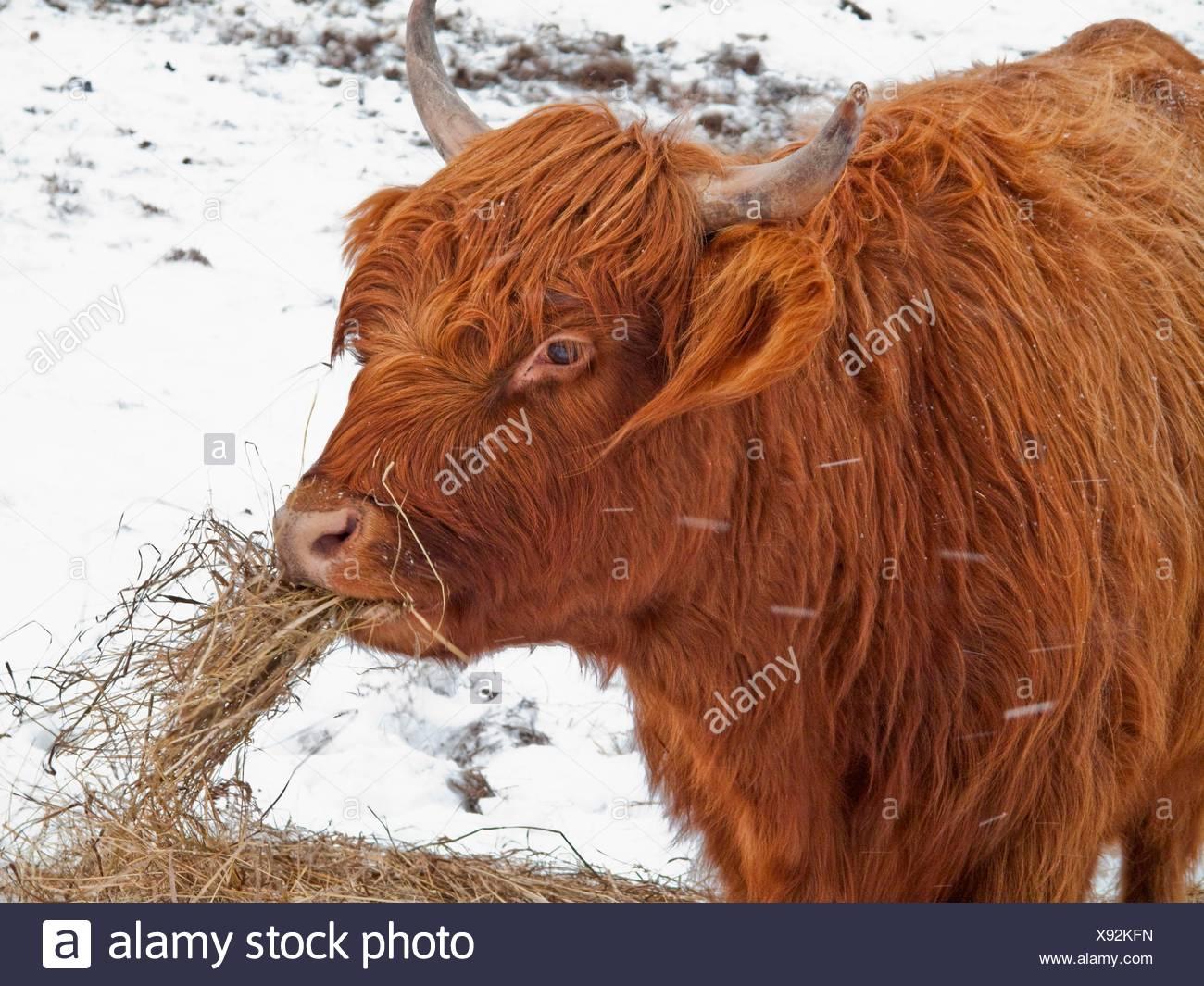 Scottish highlander - Stock Image