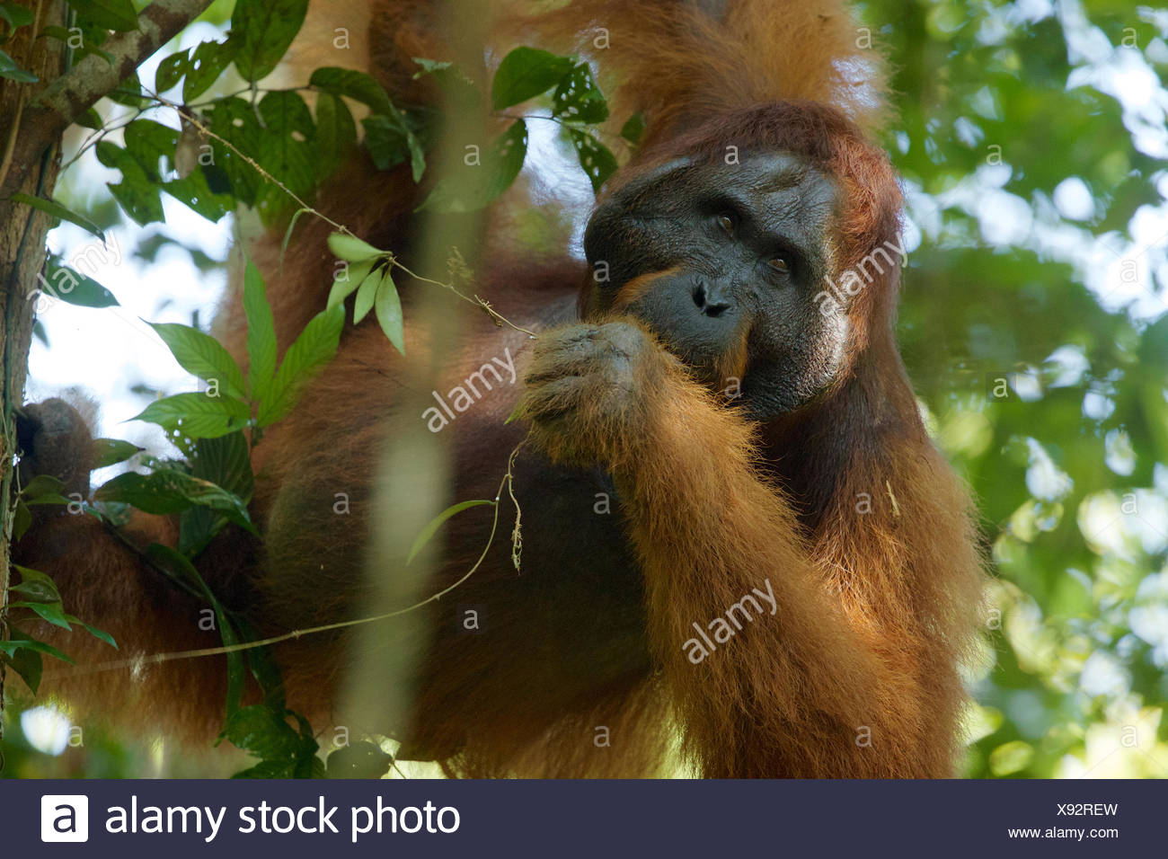 An adult male Bornean orangutan, Pongo pygmaeus wurmbii, rests on a tree branch in Gunung Palung National Park. - Stock Image