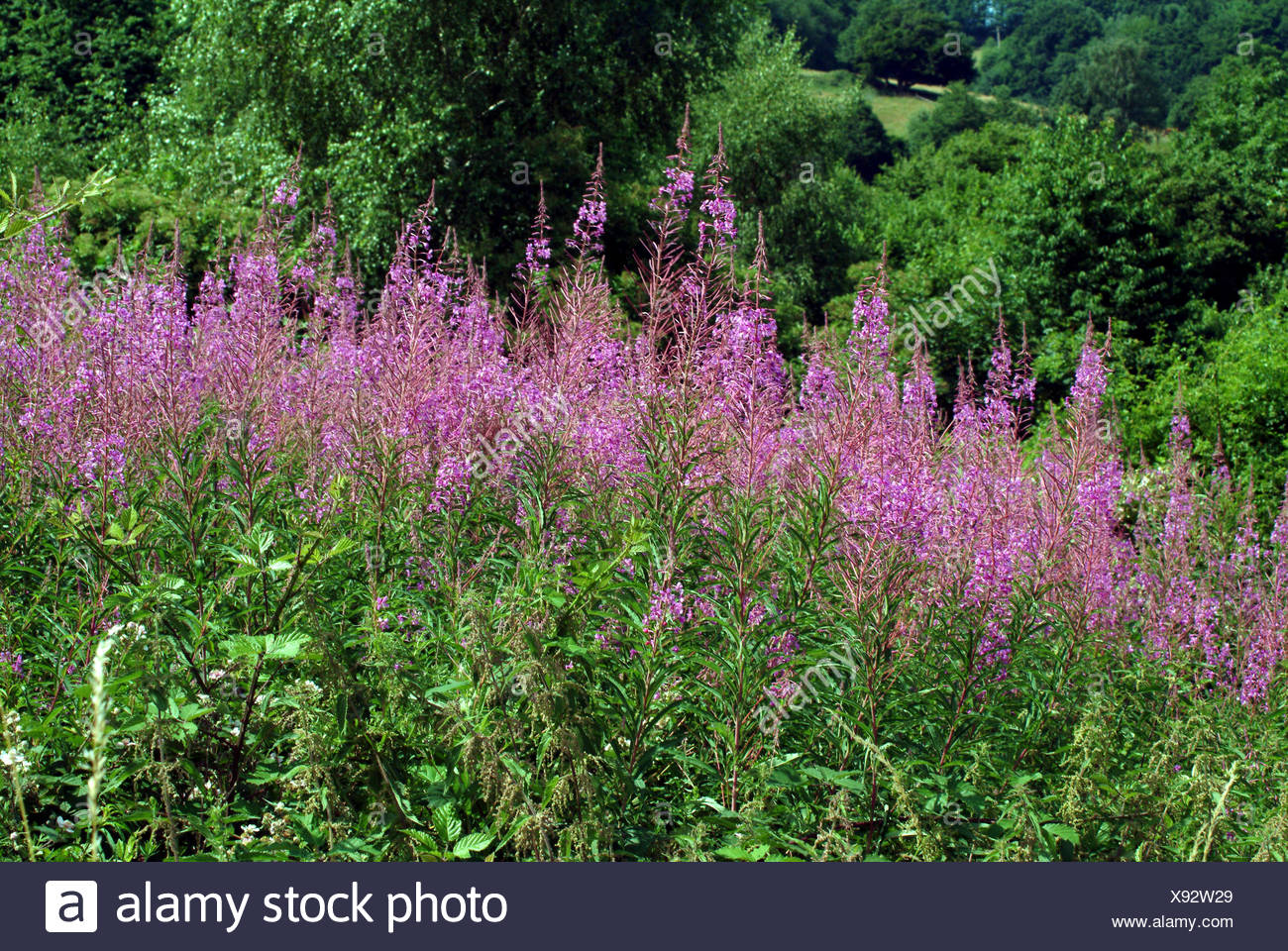 Fireweed, blooming sally, Rosebay willow-herb, Great willow-herb (Epilobium angustifolium, Chamerion angustifolium), blooming, Germany Stock Photo