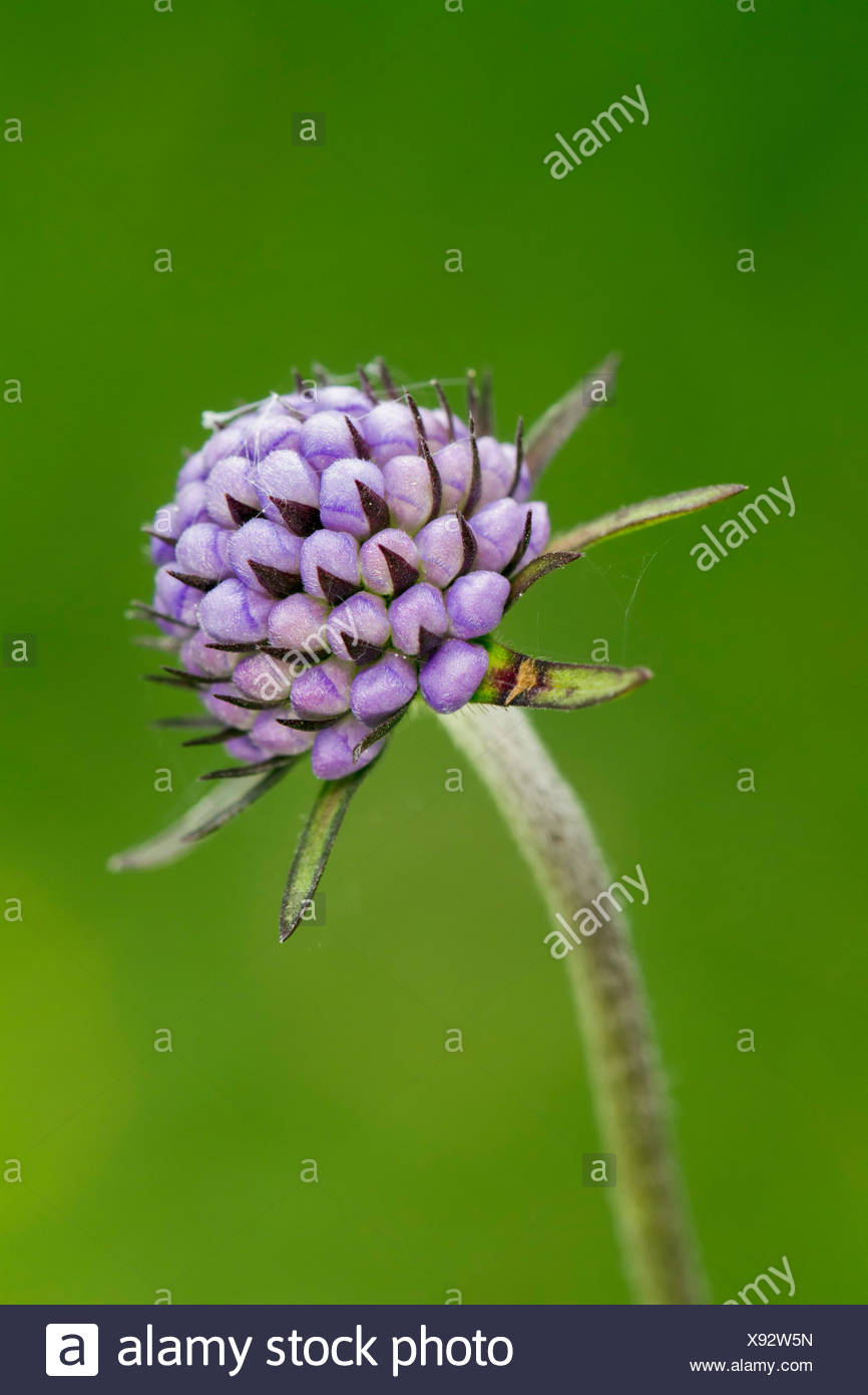 Devil's-bit scabious (Succisa pratensis), in grass pasture, South Wales, United Kingdom - Stock Image