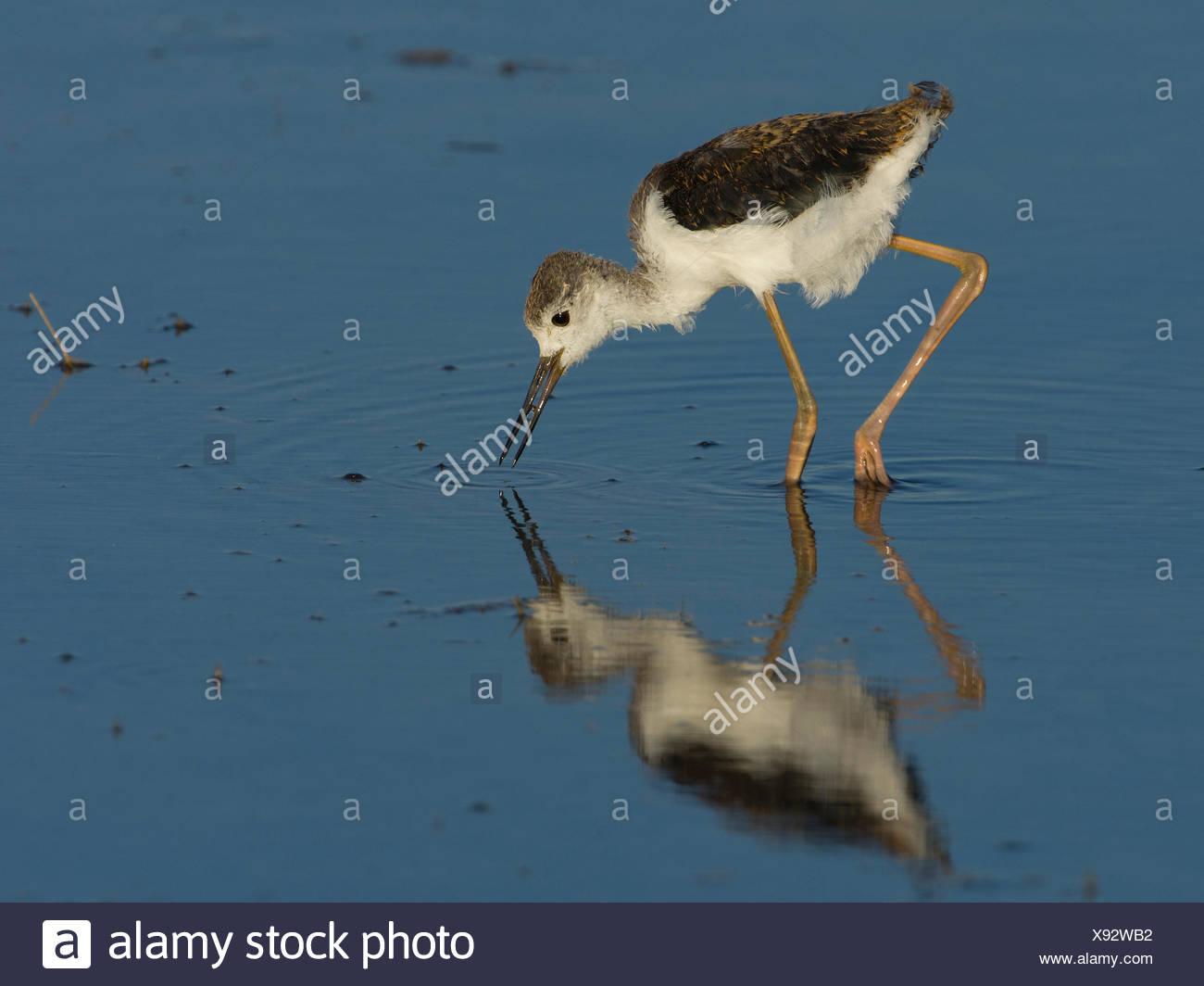 young black-winged stilt, himantopus himantopus, hungary, europe Stock Photo