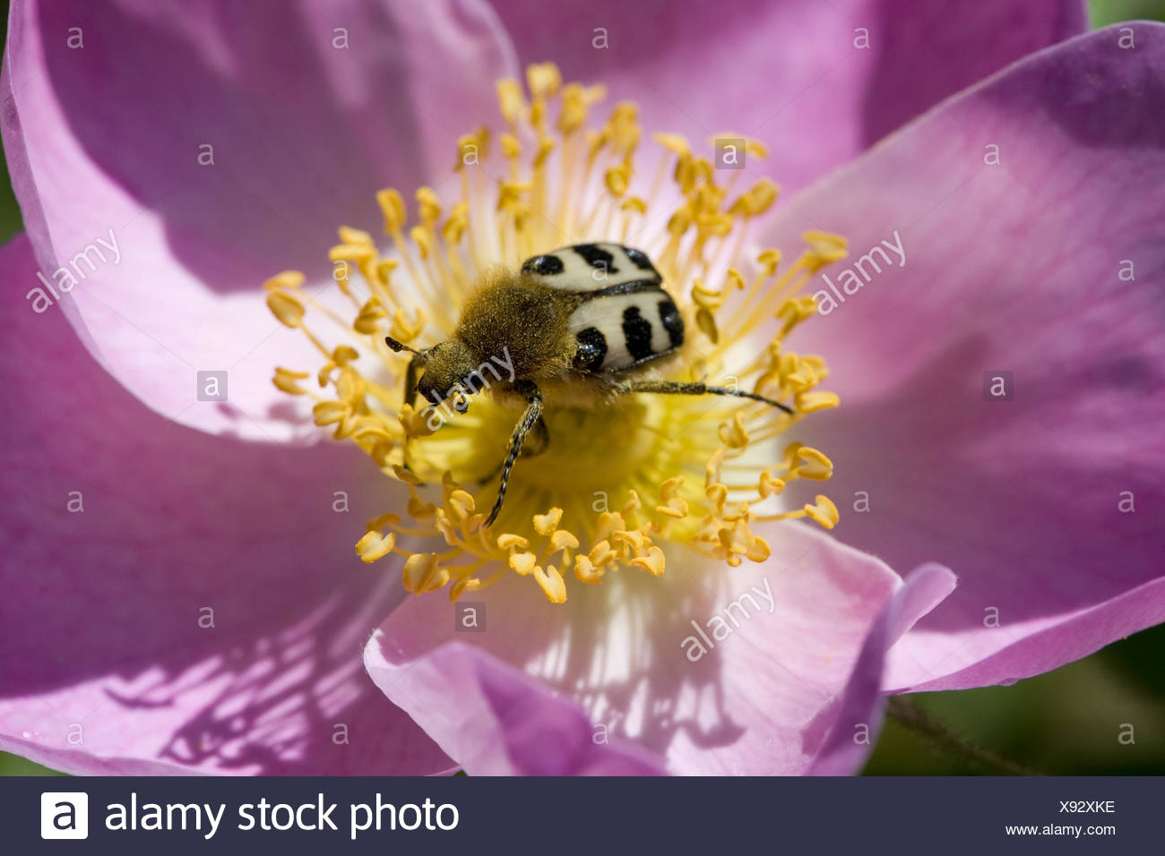 bee beetle (trichius fasciatus) on gallic rose (rosa gallica) - Stock Image