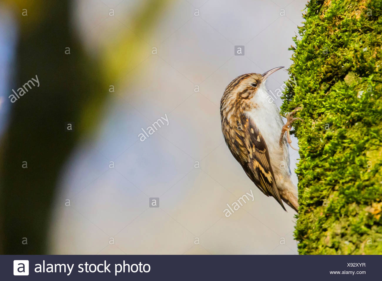 short-toed treecreeper (Certhia brachydactyla), inspecting mossy bark, Germany, Bavaria, Niederbayern, Lower Bavaria, Straubing - Stock Image