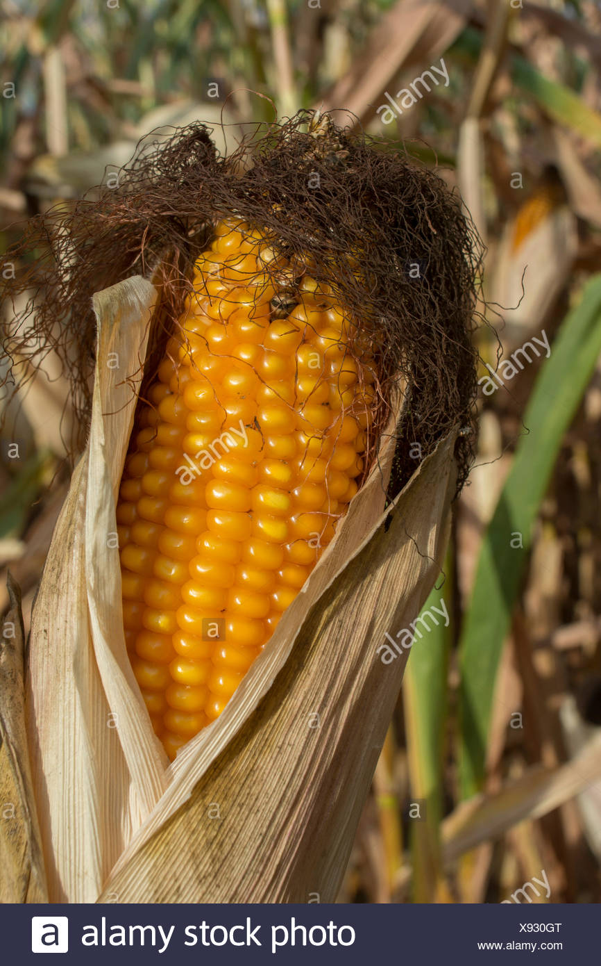 Corn Cob, Baden-Wuerttemberg, Germany, (Zea mays) - Stock Image
