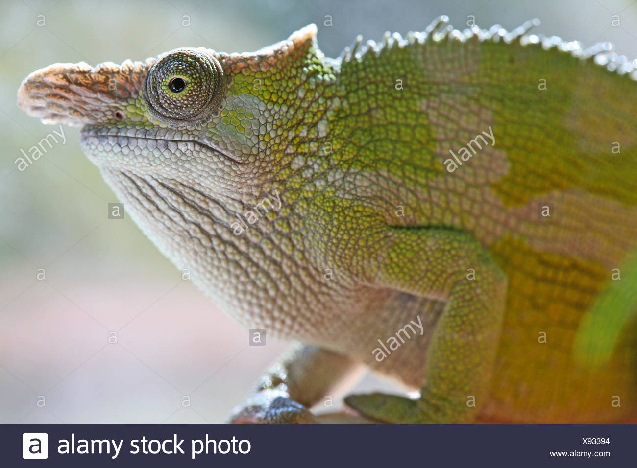 Fischers chameleon stock photos fischers chameleon stock images colour green eye organ camouflage reptiles chameleon adaptation colour green stock image thecheapjerseys Choice Image