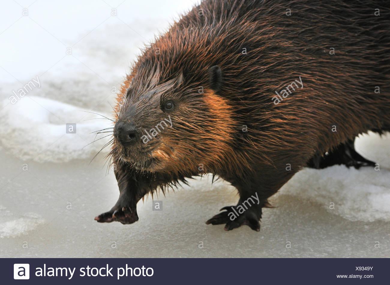 Beavers rodents Castor fiber rodent European beaver mammals rodents beaver damages winter snow animal animals Germany Europe, - Stock Image