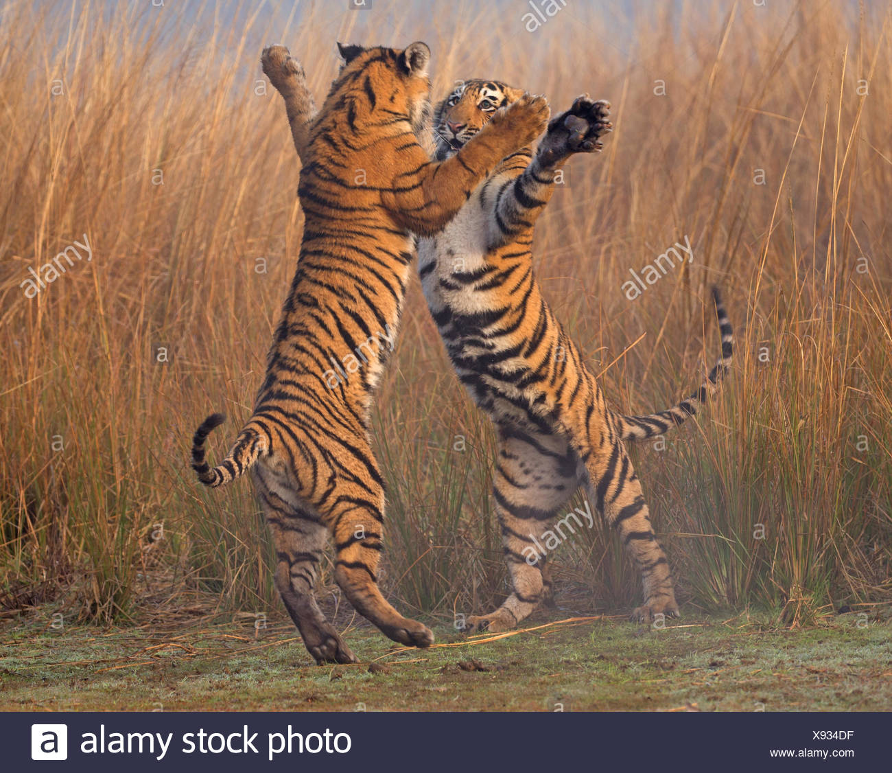 Bengal tiger (Panthera tigris tigris) 11 month cubs play fighting, Ranthambhore National Park, India. - Stock Image