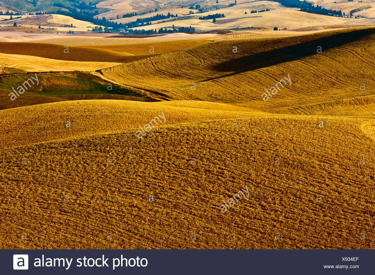 Rolling hills of mature wheat ready for harvest in late afternoon light / near Pullman, Palouse Region, Washington, USA. - Stock Image