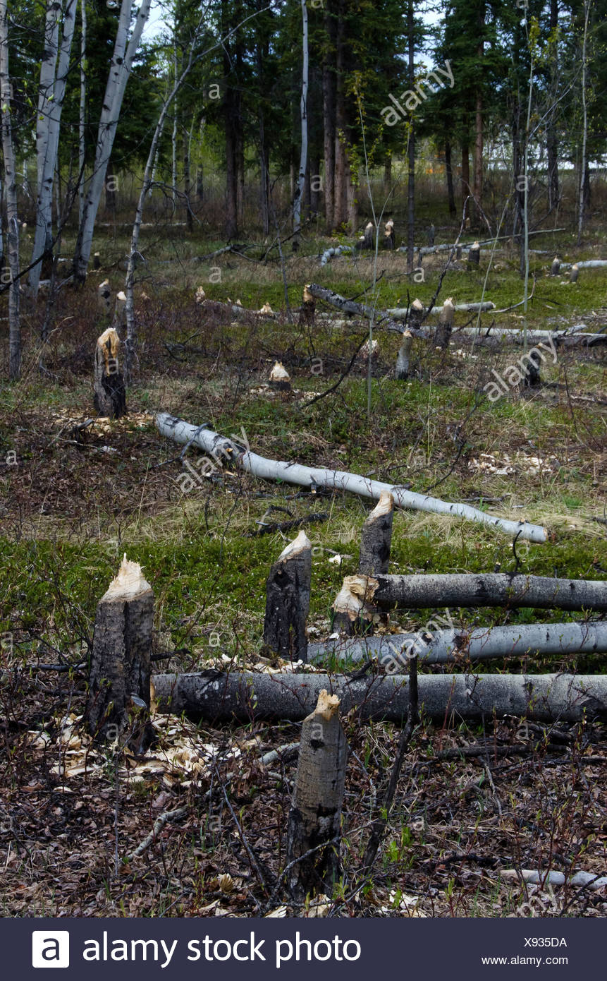 aspen, tree, stumps, cut, down, beavers, Yukon, Canada - Stock Image