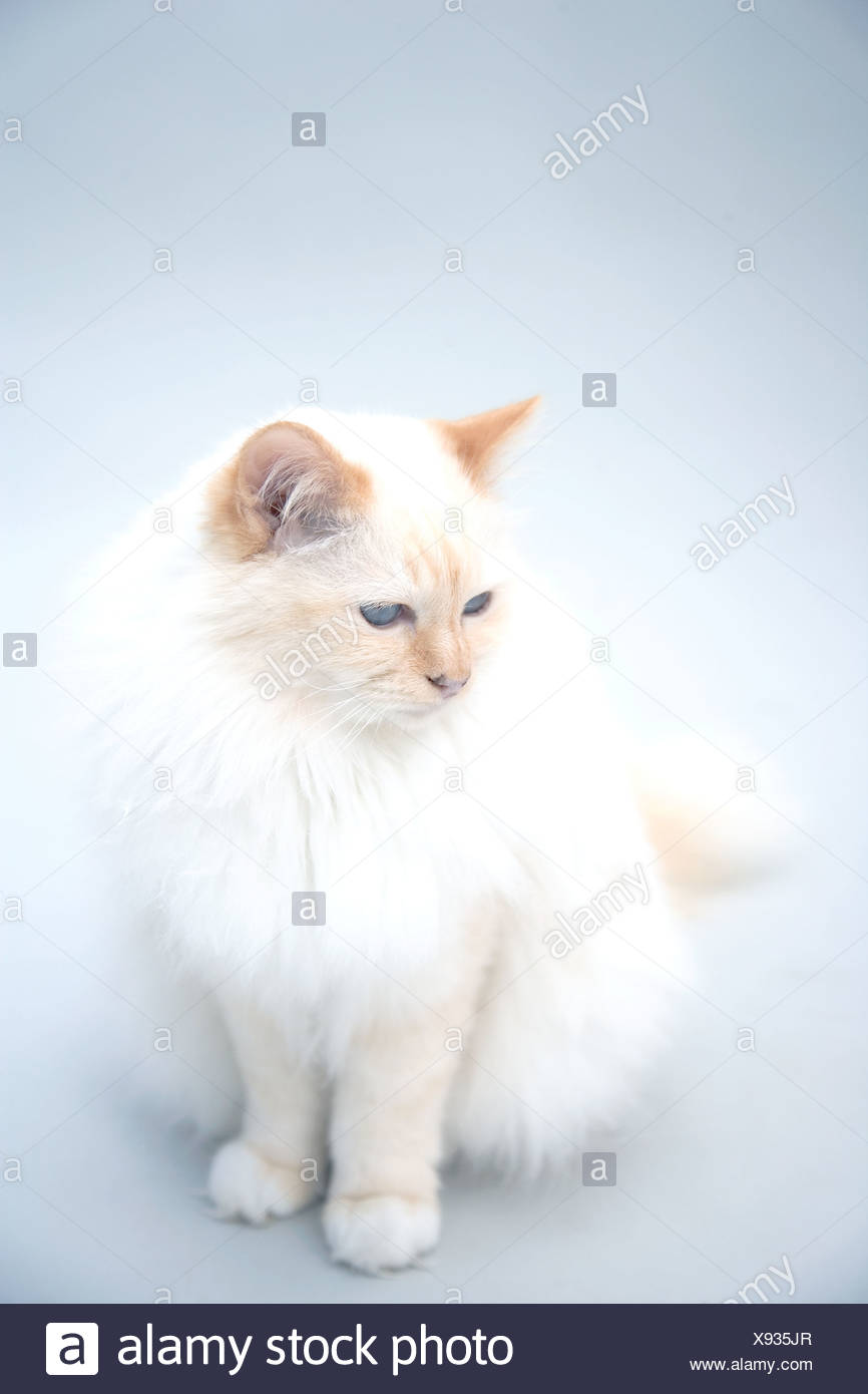 A Persian cat - Stock Image