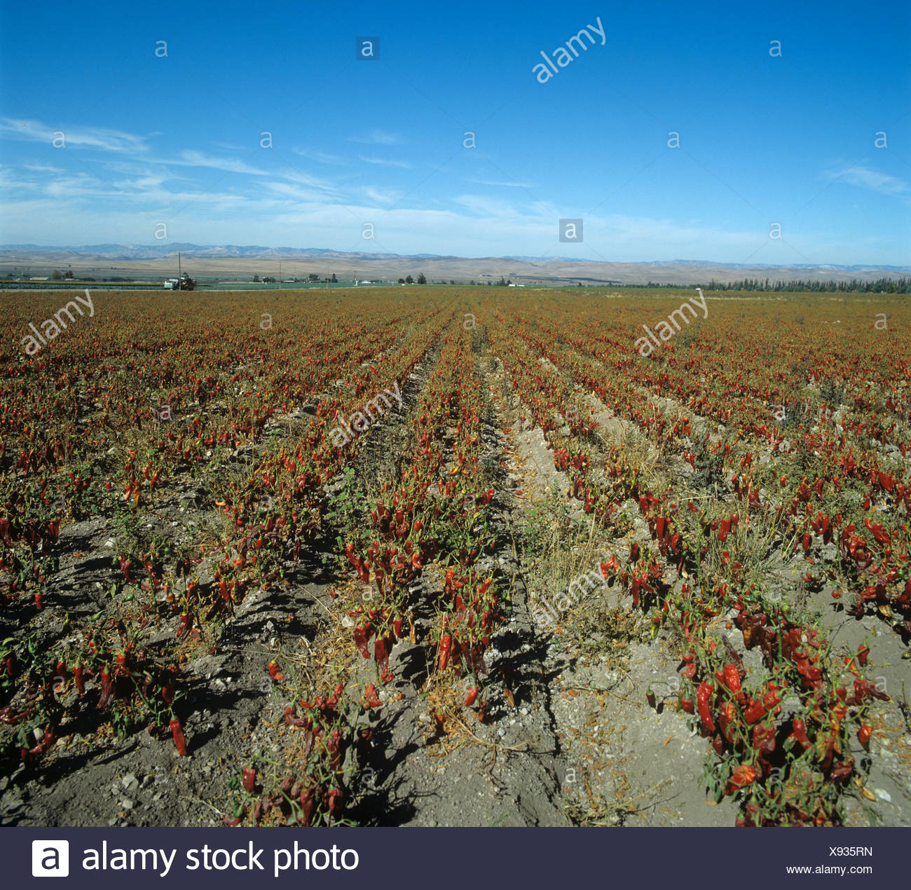 Sweet pepper crop in mature fruit sun drying California USA - Stock Image