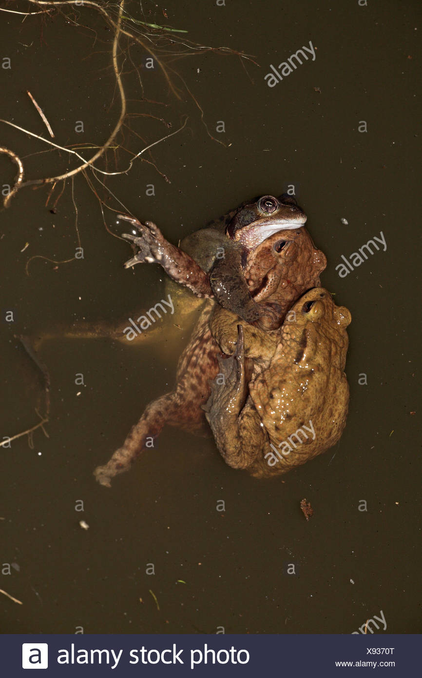 male common frog makes a mistake and tries to mate with common toads - Stock Image