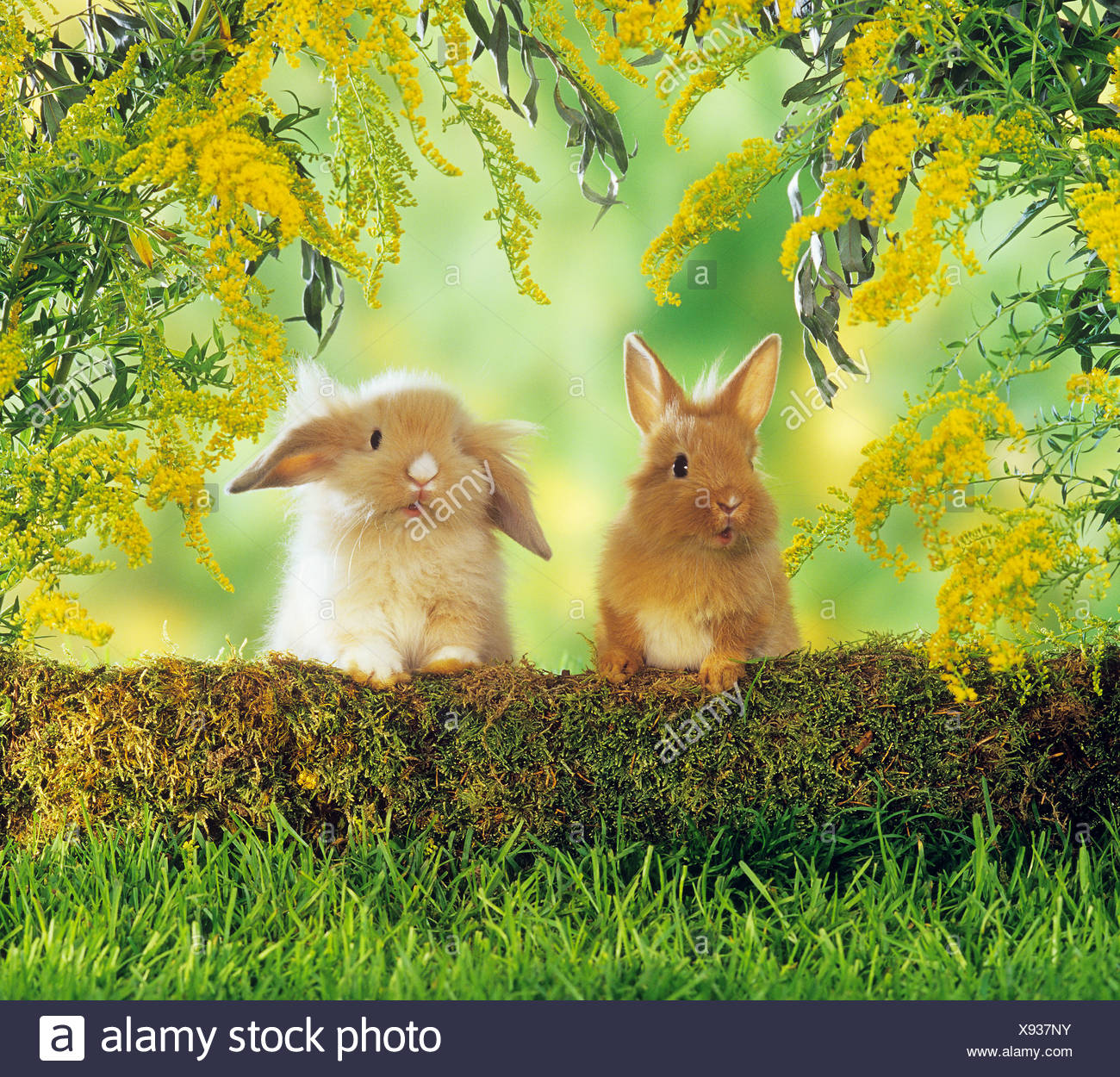 two li0on-headed dwarf rabbits behind tree trunk - Stock Image
