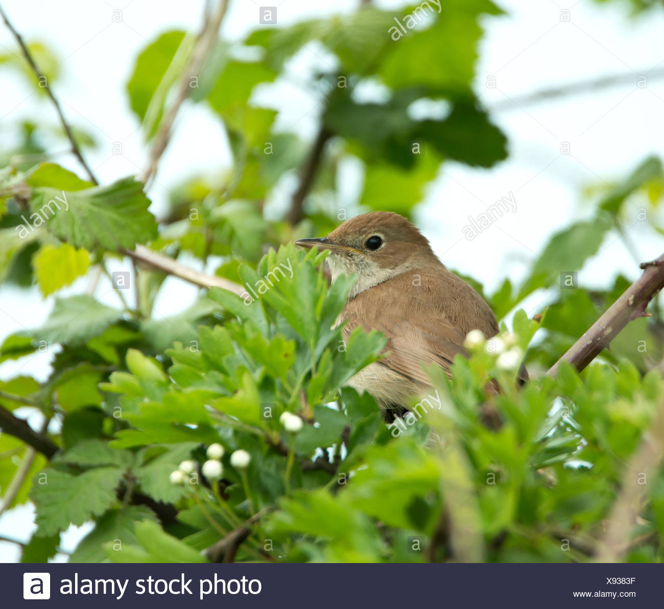 Nightingale partly concealed in tree - Stock Image